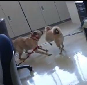 【動画】職員室で走り回るサンちゃんとまる子!
