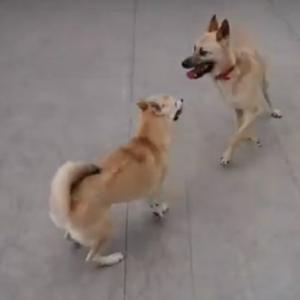 【動画あり】サンちゃんと走り回るまる子