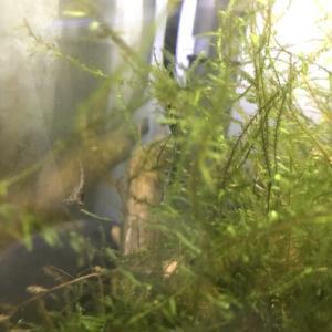 稚エビの成長と抱卵個体の確認した喜び