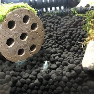 初心者におすすめ?ミナミヌマエビは簡単に繁殖できる!を信じて飼育してみる