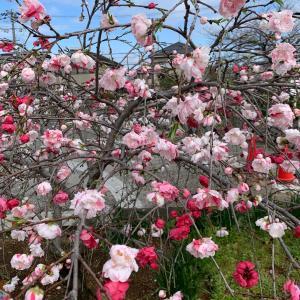 源平しだれ桃が咲いてました