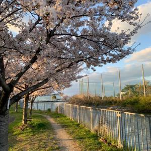 近所の並木道は桜が満開でした。