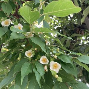 ヒメシャラ、葉の奥に隠れるように咲いています