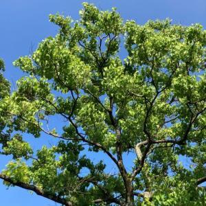 ナンテンハゼの木