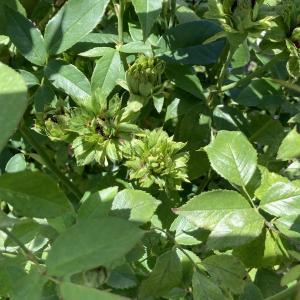 花菜ガーデンのグリーンローズ
