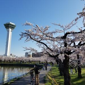桜の名所五稜郭、時期を逃した方へお花見チャンス!