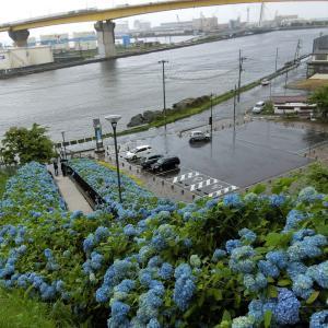 館鼻公園「あじさい」(八戸市港町)  モコとココ