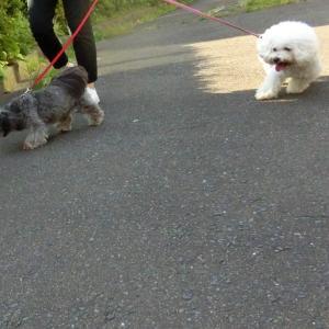 今日の散歩  モコとココ