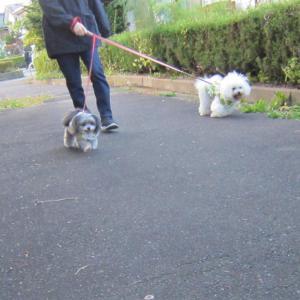 朝の散歩  モコとココ