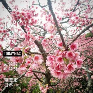 緋寒桜の花言葉は〜