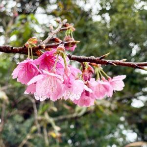 緋寒桜が咲き始める季節になりました