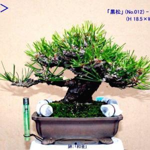 小品「黒松」(元看板樹) 葉透かし-20
