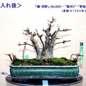 「楓・株立ち」 5幹を4幹に!