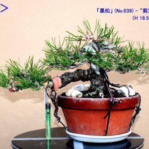 """「黒松」(039)-""""剪定""""・""""整枝"""""""
