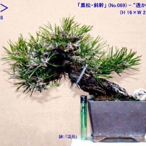 「黒松斜幹」(069)-透かしと整枝