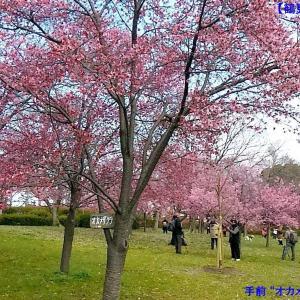 """TGP-353 """"鶴見緑地"""" 早咲きの桜"""