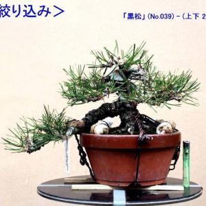 「黒松」枝の再々絞り込み