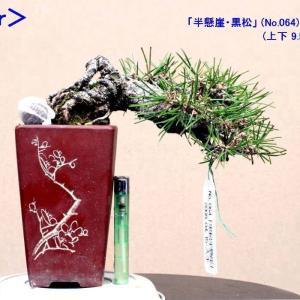 """小品 「半懸崖・黒松」 """"芽切り"""""""