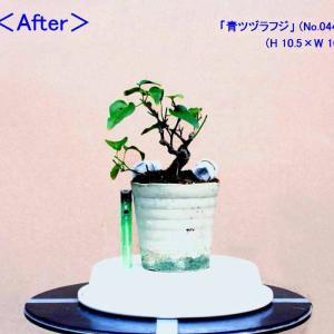 「青ツヅラフジ」・「八房杜松」-芽摘み