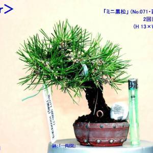 """「根上がり・ミニ黒松」今期2回目の """"芽切り""""-1"""