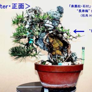 「寿黒松・石付」に「長寿梅」を寄せる