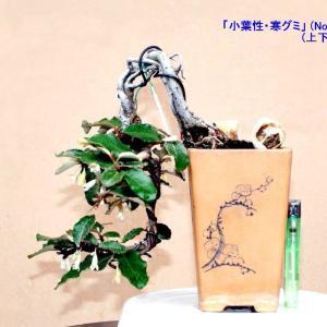 「寒グミ」の花付き状況-3鉢