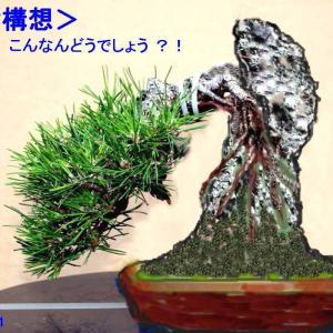 「黒松」(No.037) こんなんどうですか!