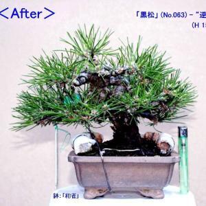 「黒松」(063・092) 芽先勢いの平準化