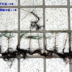 一番出世「ミニ黒松・No.3」成長の記録