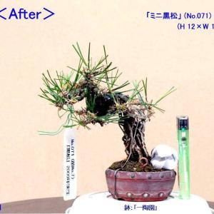 """「ミニ黒松」No.071・072-""""芽摘み""""-3"""