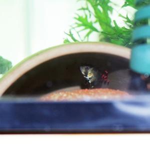 ルプヌニ・バエンスチ2種の産卵