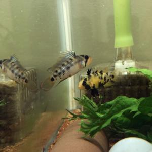 稚魚たちを退避、、、そして水槽掃除