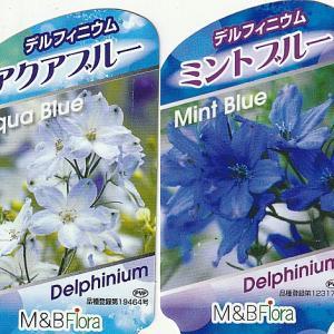 デルフィニウムの苗を購入しました。