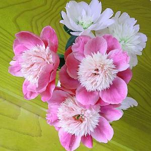 今日の切り花・芍薬ピンク色白色