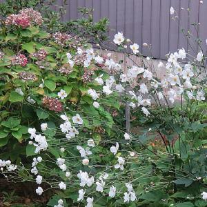 今年もシュウメイギクがきれいに咲いています。