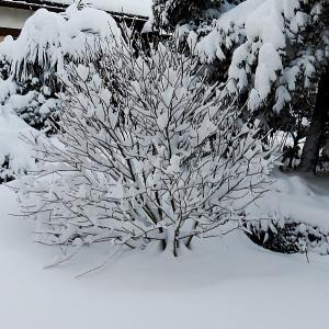 寒波到来、ムクゲも雪化粧