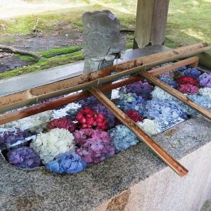 福井県足羽神社、愛宕坂の紫陽花の花です。