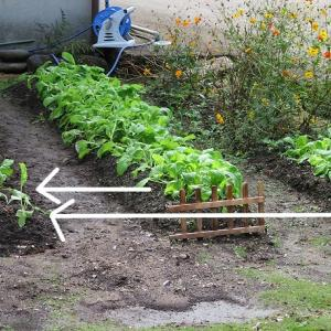 水菜を間引きして横の畝に定植しました。