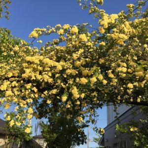 暖冬のせい? モッコウバラが突然咲いた