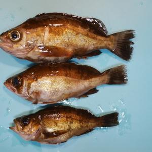 大黒海釣り施設でメバル3匹