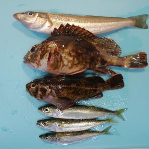 大黒海釣り施設でシロギス&カサゴ&ベラ&小サバ