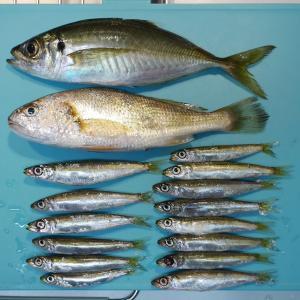 大黒海釣り施設でアジ&イシモチ&ウルメイワシ
