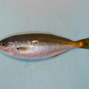 小さな高級魚タカベ@熱海港