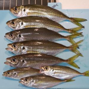 大黒海釣り施設でアジ8匹