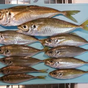 大黒海釣り施設でアジ好調?(1117匹)