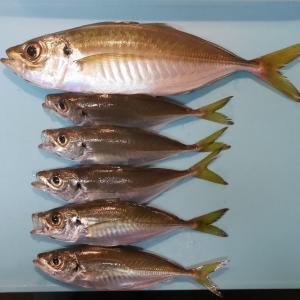 大黒海釣り施設でアジ6匹