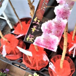 桜の苗木いろいろ