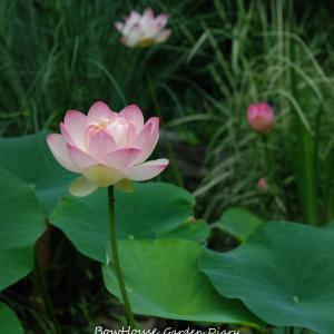 蓮のトリプル咲きと夏しゃぶ!