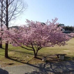 今が見頃の「河津桜」