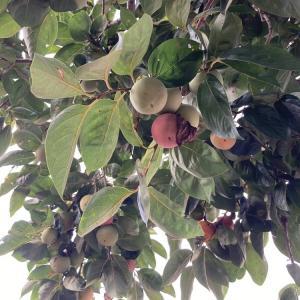 柿の木が残念なことに・・・_| ̄|○・・・はうぅ・・・